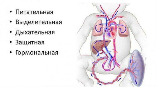 Функции плаценты