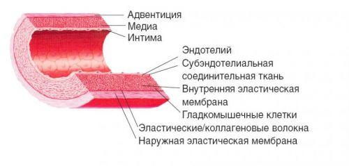 Стенка артерии
