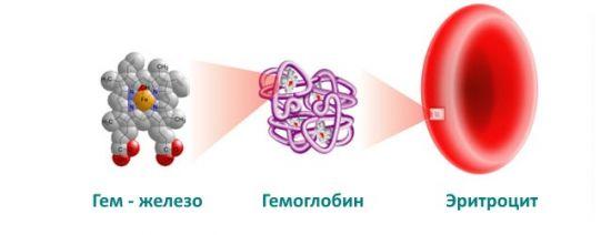 Гемоглобин и эритроцит
