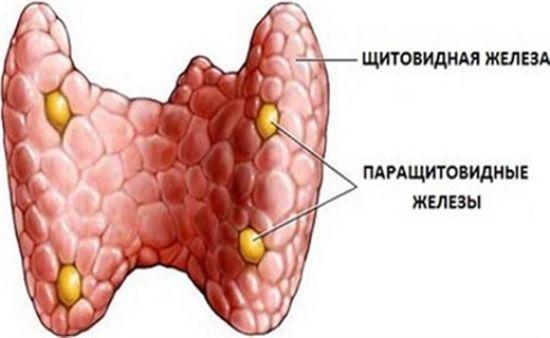 Щитовидная и паращитовидные железы