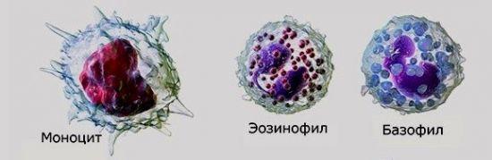 Моноцит, эозинофил и базофил