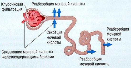 Экскреция мочевой кислоты