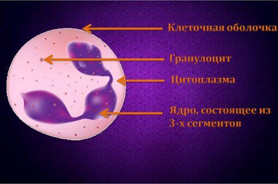 Нейтрофил