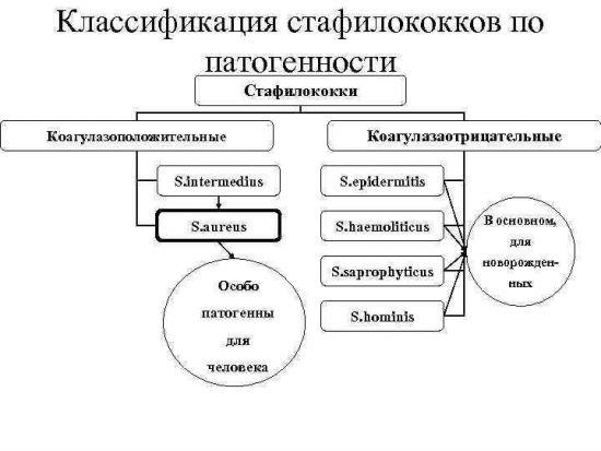 Стафилококки