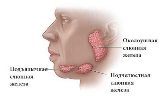 Крупные слюнные железы