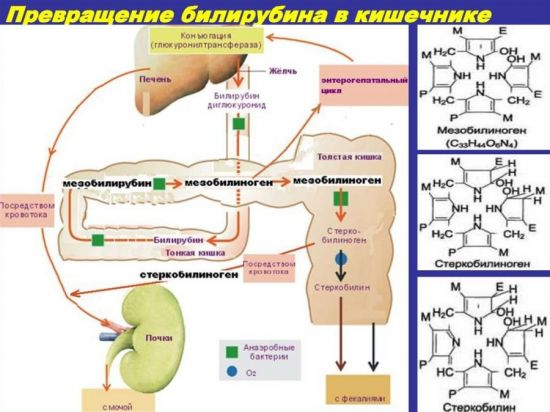 Превращение билирубина в кишечнике