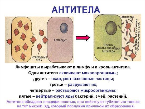 Процесс выработки антител
