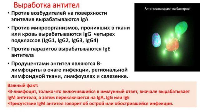 Выработка антител