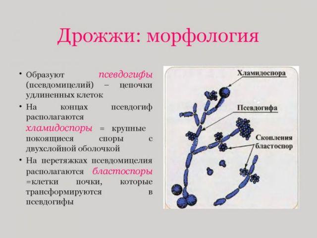 Дрожжеподобные грибы
