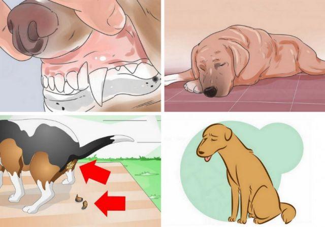Симптомы болезни селезенки у собак