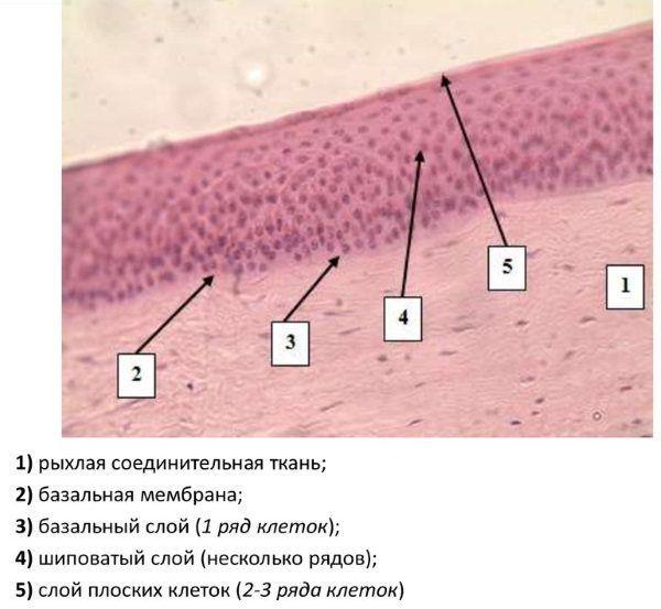 Эпителий под микроскопом