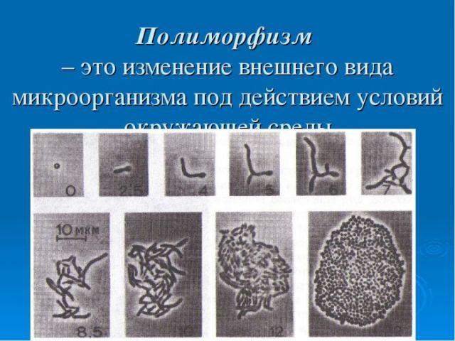 О полиморфизме клеток