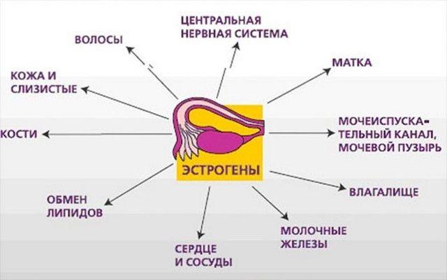 Влияние эстрогенов на организм