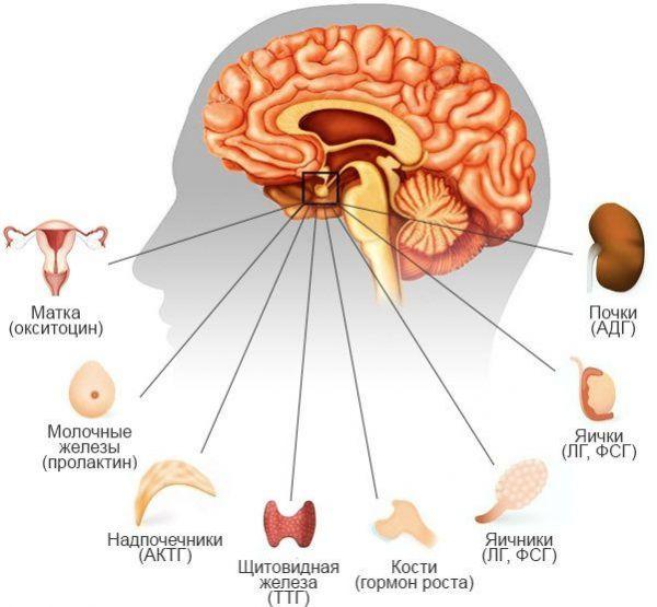 Влияние гипофиза на органы