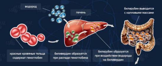 Процесс образования и выведения билирубина
