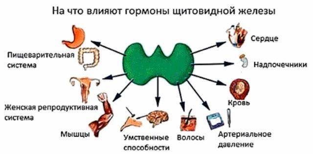 Влияние гормонов щитовидки на органы