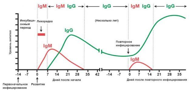 Образование антител при COVID-19