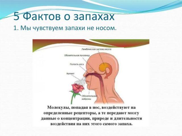5 фактов о запахах