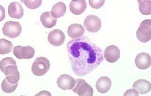 Палочкоядерные в анализе крови